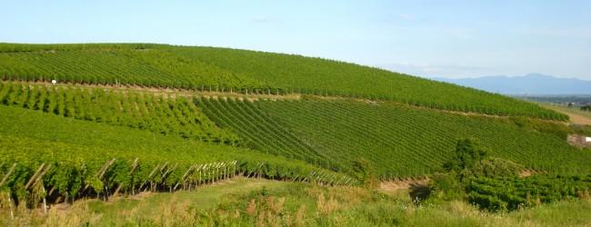 vins d'Alsace, CIVA, millésime 2013, crémant, vignes, vin, riesling, muscat, pinot gris, gewurtztraminer,